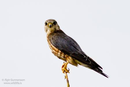 Smyrill - Falco colunbarius - Merlin