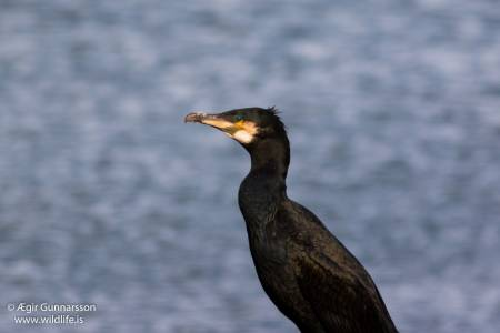 Dílaskarfur - Phalacrocorax carbo - Great cormorant