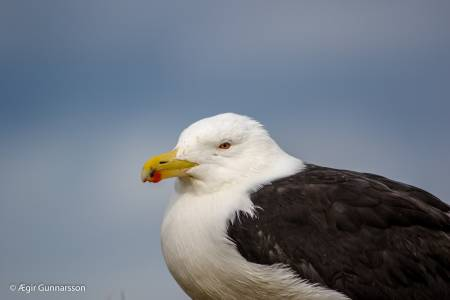 Svartbakur - Great black-backed gull