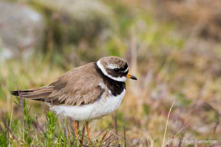 Sandlóa -  Common ringed plover 20170614-4R0A5177