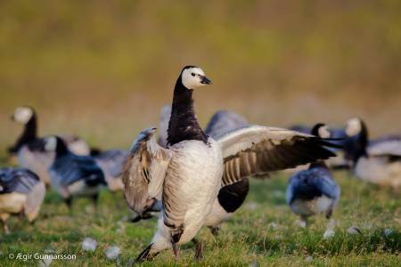 Helsingi - Barnacle goose