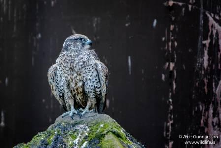 Fálki - Falco rusticolus