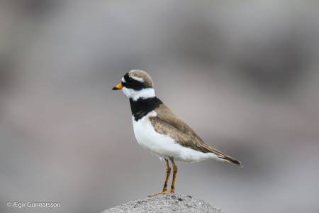 Sandlóa -  Common ringed plover 20190623-4R0A1962