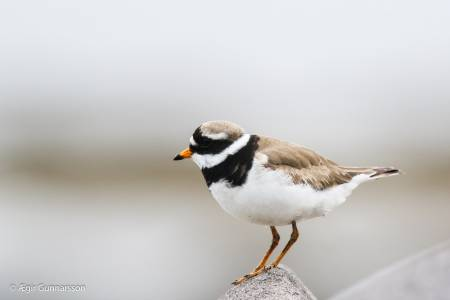 Sandlóa -  Common ringed plover 20190623-4R0A1979