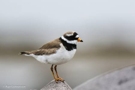 Sandlóa -  Common ringed plover 20190623-4R0A1990