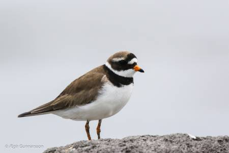 Sandlóa -  Common ringed plover 20190623-4R0A2035-2