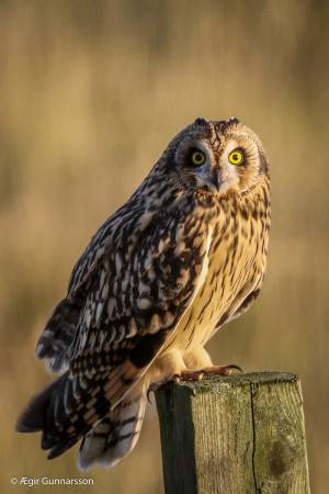 Brandugla - shor eared owl