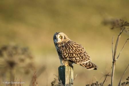 Brandugla - short eared owl