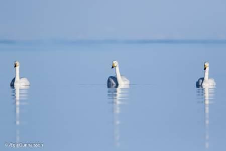Álftir - Whooper swan