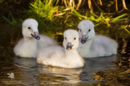 Álftarungar - Whooper swan