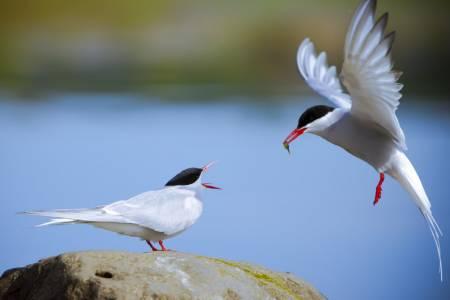 Kría – Sterna paradisaea – Arctic tern