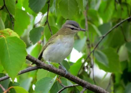 Græningi, ungfugl - Red-eyed Vireo, Juvenile