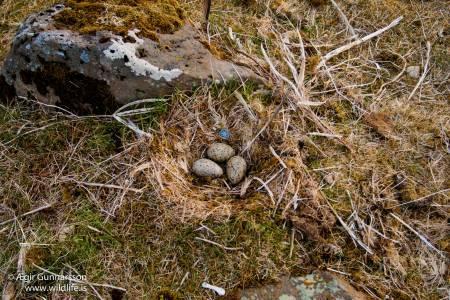 Svartbakshreiður - Great black-backed gull nest