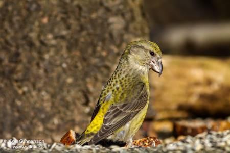 Krossnefur – Loxia curvirostra – Red crossbill