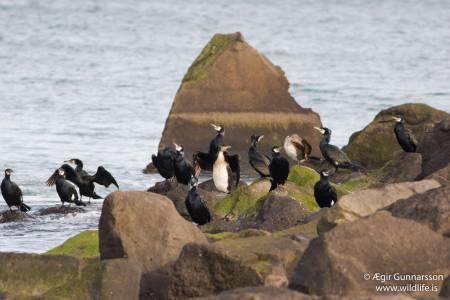 Dílaskarfur - Phalacrocorax carbo - Great cormorant