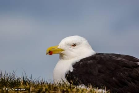 Svartbakur - Great black-backed gull