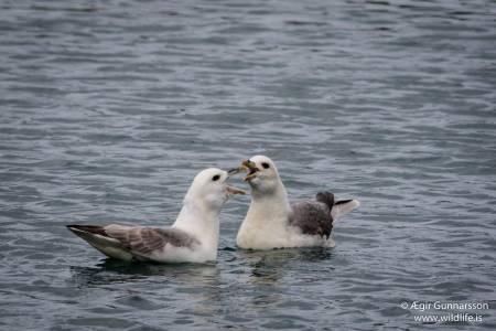 Fýll - Fulmarus glacialis - Northern fulmar