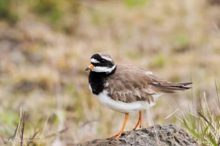Sandlóa - Common ringed plover 20170614-4R0A5029