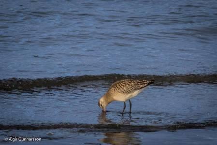 Lappajaðrakan-Bar-tailed Godwit-4R0A7791