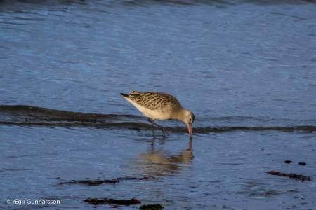 Lappajaðrakan-Bar-tailed Godwit-4R0A7799
