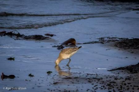 Lappajaðrakan-Bar-tailed Godwit-4R0A7817