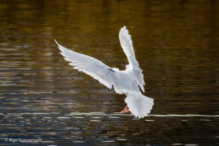 Bjartmáfur - Iceland gull