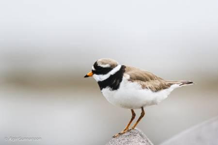 Sandlóa - Common ringed plover 20190623-4R0A1979