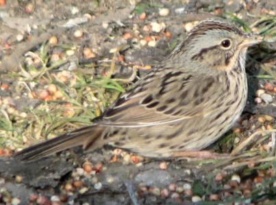 Brjósttittlingur - Melospiza Lincolnii - Lincoln´s Sparrow